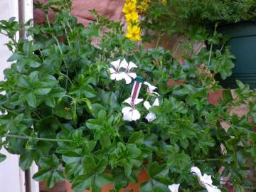 Seramis test stick in potted plant